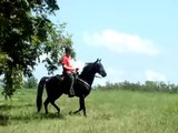 Awesome Head-Shaking Black Tennessee Walking Horse Gelding For Sale -- A Real Walking Mo-Sheen!