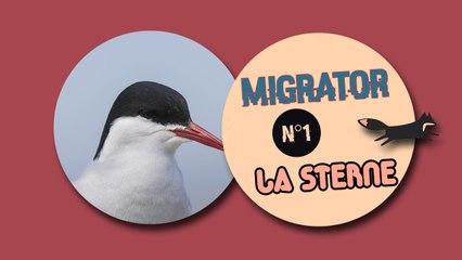 Migrator, une vidéo interactive - Les sternes arctiques
