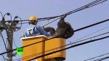 Un singe se sauve d'un zoo et se balade sur des lignes électriques