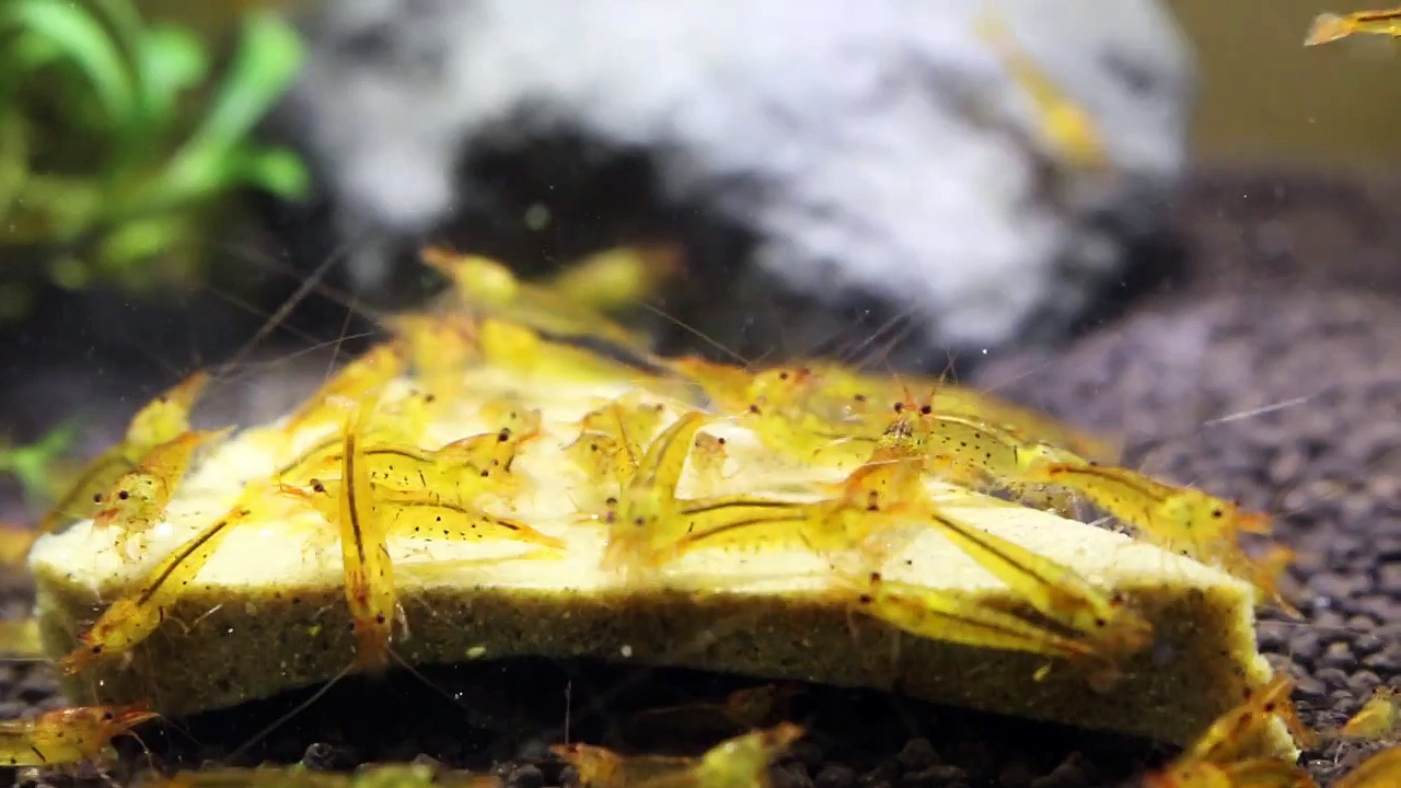 Tangerine Orange Tiger Shrimps – video by Shrimp Corner UK