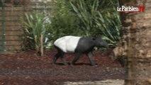 Paris : un tapir malais, nouveau venu à la ménagerie du Jardin des Plantes