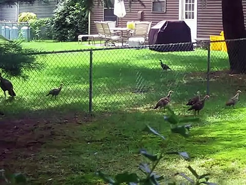 Wild (baby) Turkeys in Pennsauken NJ July 2013