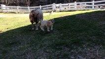 Les premiers pas et sauts d'un bébé chèvre !