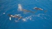 Superbes baleines à bosses filmées d'un Drone à Hawaï