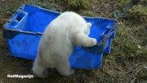 Eten en spelen, spelen en eten. Freedom en haar ijsbeerbaby's in Ouwehands Dierenpark