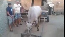 Amazing Smart Cows Compilation 2016-Top Funny Videos-Top Prank Videos-Top Vines Videos-Viral Video-Funny Fails