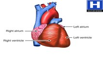 How the Heart Works Animation - Learn Heart Anatomy Vessels Valves and Chambers - Circulation Video