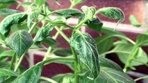 Potted young three monthly chilli peppers | Chilli Regulus