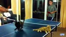 'Cats Playing Ping Pong Compilation' CFS.