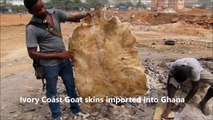 African Drumming- Skinning Goat skins for Drums