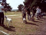 Video expo chiens bouledogue americain