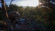 W T eagles Estonia 4.20.16 615am sunrise swap out Dad trys to feed the 3 eaglets