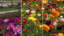 The Flower Fields Carlsbad San Diego CA 2016