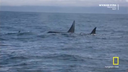 KILLER WHALE VS  GREAT WHITE SHARK - NATIONAL GEOGRAPHIC - Discovery  Animals Nature (full documentary)