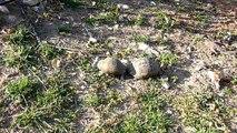 Schildkröten in Paarungslaune - Türkei - P1060907.MOV