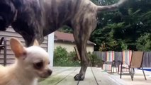 Gentle Giant Mastiff Plays With Baby - video dailymotion