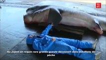 Des pecheurs japonais attrapent un requin très rare dans leurs filets