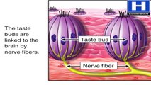 what are taste buds - How taste buds works - Taste buds physiology, mechanism and functions