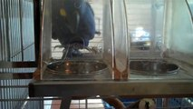 Ivy the Hyacinth Macaw plays in her food trays