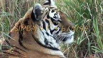 LIONS & TIGERS of Big Cat Rescue!