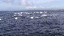 Des baleines attaquent un banc de dauphins en panique