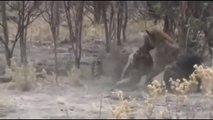 Lion Vs Hyena, Cheetah Vs Hyena , Leopard vs Hyena Real Fight- Animal Attack