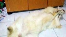 My LOL samoyed just share my litle boy for fun...no need like or dislike :)