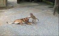 Dog VS Crazy Monkey-Top Funny Videos-Top Prank Videos-Top Vines Videos-Viral Video-Funny Fails