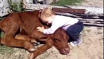 Belle amitié entre un bébé et un veau. Trop mignon