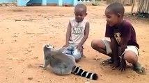 Un lémurien qui réclame ses câlins... Et de quelle manière. Lol !