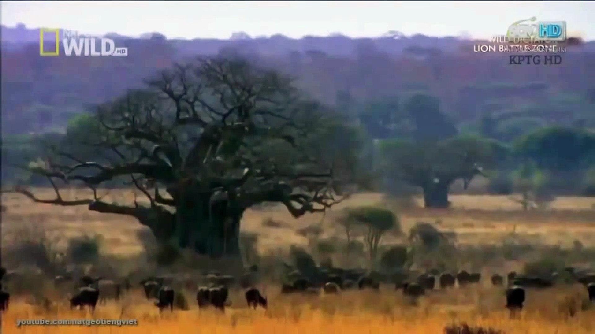 ♦ monde animal Lion Territoire de chasse - World Animal