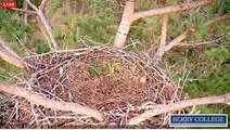 Berry College Eagles -Dad Delivers a Log - 10/15/2015