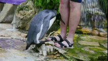 Ce pingouin abandonné doit apprendre à nager