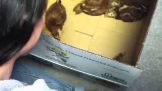 Chickens! Baby Chicks