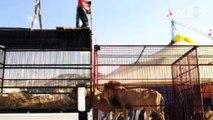 Un groupe de défense des animaux libère les lions des cirques