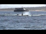 Killer Whales Attack Gray Whale Calf