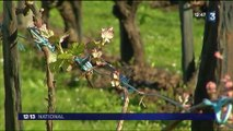 Angers : quand l'insecte sert à combattre l'insecte