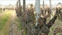 Des vignobles de renom touchés par des gelées historiques - Le 28/04/2016 à 18h30