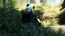 Giant Panda Bear - Cute Panda 2