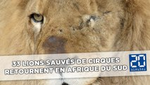 Trente-trois lions sauvés des cirques sud-américains s'envolent pour l'Afrique