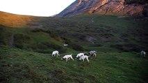 La chasse du lièvre en montagne avec des Ariégeois