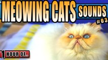 Cat sounds, cat meowing, kitty sounds to make a cat happy, attract