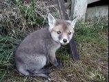 Cet homme va sauver un bébé renard qui a la tête coincée dans une boite de conserve!