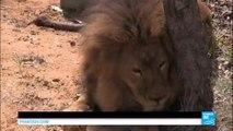 Retour à la vie sauvage pour 33 lions qui ont subi des mauvais traitements dans des cirques