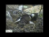 Eagle Brings Cat to Nest for Eaglets