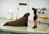 EVERYONE NEEDS THIER DAILY WORKOUT EVEN THE WALRUS IN THIS VIDEO