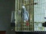 Bibiche perroquet gris du gabon