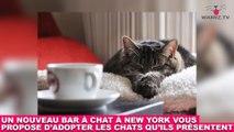 Un nouveau bar à chat à New York vous propose d'adopter les chats qu'ils présentent ! On en parle dans la Minute Chat #209