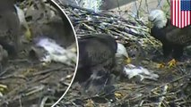 Camera catches bald eagles and their eaglets making a meal out of a dead cat