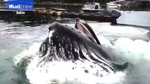Amazing moment giant humpback whale breaches right next to dock